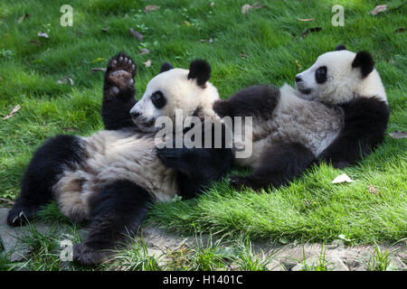 Two giant panda cubs playing at Bifengxia Panda Reserve, Sichuan, Ya'an, China - Stock Photo