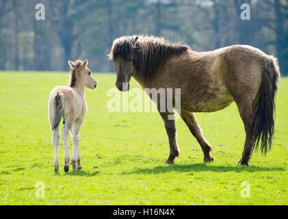 Tarpan (Equus ferus gmelini, Equus gmelini), breeding back, mare and foal on pasture, captive, Germany - Stock Photo