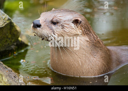Eurasian otter (Lutra lutra), portrait, captive, Germany - Stock Photo