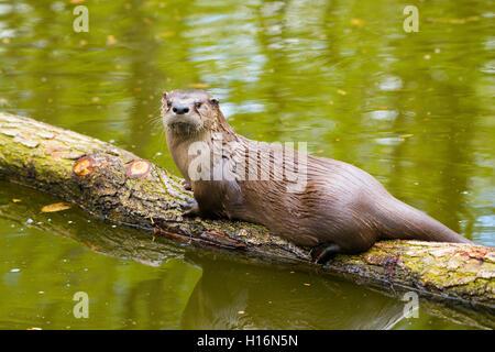 Eurasian otter (Lutra lutra) on a tree trunk, captive, Germany - Stock Photo