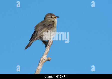 Willow warbler (Phylloscopus trochilus), Wittlich, Rhineland-Palatinate, Germany - Stock Photo