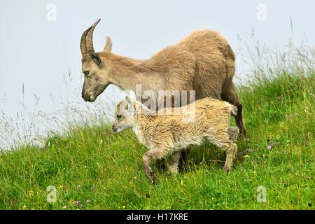 Alpine ibex (Capra ibex), with juvenile, Bernese Oberland, Canton of Bern, Switzerland - Stock Photo