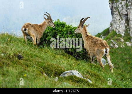 Alpine ibexes (Capra ibex), eating, Bernese Oberland, Canton of Bern, Switzerland - Stock Photo