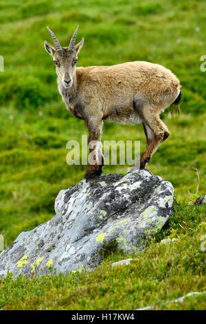 Young Alpine ibex (Capra ibex) standing on a rock, Bernese Oberland, Canton of Bern, Switzerland Stock Photo