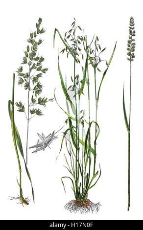 Gewoehnliche Glatthafer oder Franzoesisches Raygras, Arrhenatherum elatius (links), Saat-Hafer oder Echter Hafer, - Stock Photo