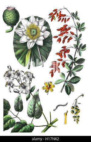 Weisse Seerose, Nymphaea alba (oben links), Gewoehnliche Berberitze, Sauerdorn, Essigbeere oder Echte Berberitze, - Stock Photo