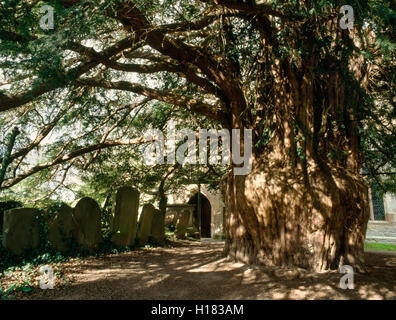The ancient yew tree beside the south porch of St Bartholomew's church, Much Marcle, has a girth of around 9.14m. - Stock Photo