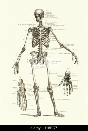 retro medical diagram illustration of human skeletal hands man, Skeleton