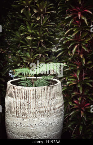 Potted plant against dark green wall. Fern in a big ceramic pot next to hedge with copy space - Stock Photo
