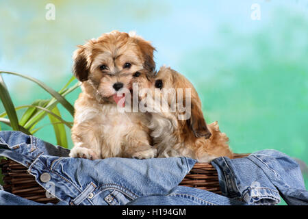 2, two havanese puppies sitting in a basket with jeans, cuddling and kissing each other - Stock Photo