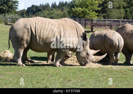Ceratotherium simum. White Rhinoceros in captivity at The Cotswold Wildlife Park, Oxon. - Stock Photo