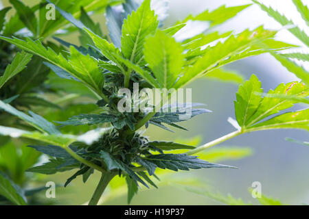 close up of the buds on a small cannabis plant growing outdoors under bright sunshine - Stock Photo