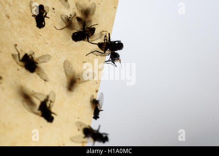 Dead flies stuck to a insect trap hanging from the ceiling with a grey white background. - Stock Photo