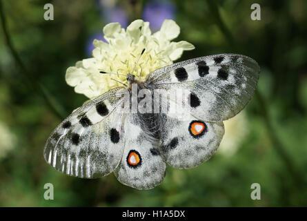 The Apollo butterfly (Parnassius apollo) in a natural mountain environment - Stock Photo