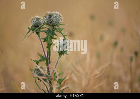 A Spear Thistle plant. - Stock Photo
