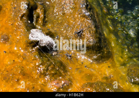 Thermophilic spiders in the hot springs of Lake Manyara - Stock Photo