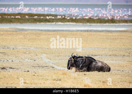 Blue wildebeest (Connochaetes taurinus albojubatus) and lesser flamingos (Phoeniconaias minor) in the Ngorongoro - Stock Photo