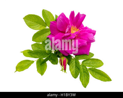 Pink rosa rugosa with leaves and bud isolated on white - Stock Photo