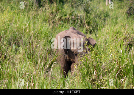 Baby Asian Elephant in the Wild - Stock Photo