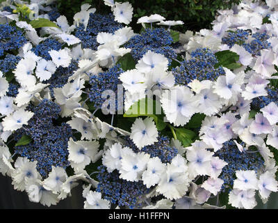 Blue and white Hydrangea acecap hydrangea in full bloom in July at Tatton Park Flower Show in Cheshire, England, - Stock Photo