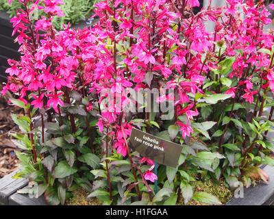 Lobelia 'Fan Rose Pink' in full flower. - Stock Photo