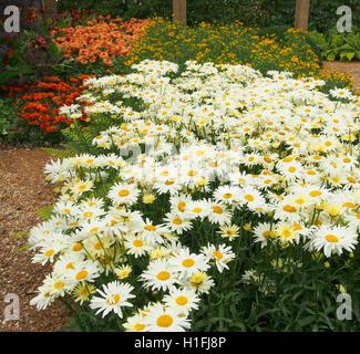 Large white chrysanthemum leucanthemum (oxeye daisies) flowers growing in a perennial border at Tatton Park flower - Stock Photo
