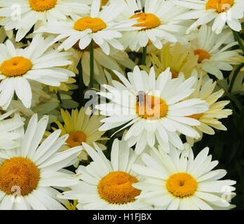 Bee on large white chrysanthemum leucanthemum (oxeye daisies) flowers growing in a perennial border at Tatton Park - Stock Photo