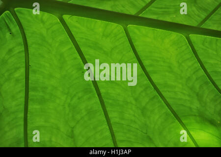 Closeup of leaf with beautiful veins. - Stock Photo