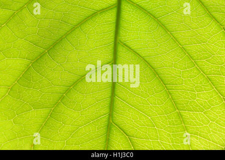 Closeup of light green leaf showing veins. - Stock Photo