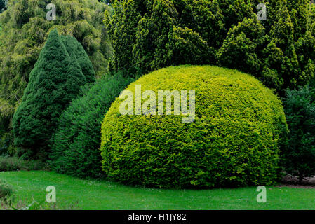 Eibe in Formschnitt, Formschnitteibe, Taxus baccata - Stock Photo