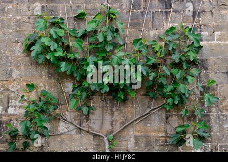 Feigenbaum als Spalier an Mauer gezogen, Ficus carica, Echte Feige - Stock Photo