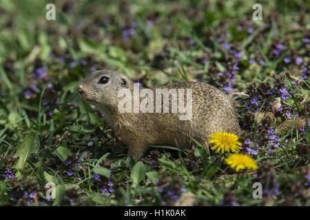 European Ground Squirrel, European Souslik, Vienna, Austria, (Spermophilus citellus) - Stock Photo