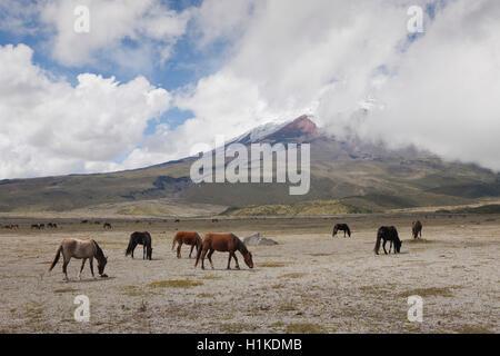 Wild Horses grazing near Cotopaxi, Cotopaxi National Park, Ecuador - Stock Photo