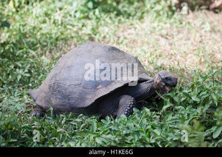 Galapagos Giant Tortoise, Chelonoidis nigra, Santa Cruz Island, Galapagos, Ecuador - Stock Photo
