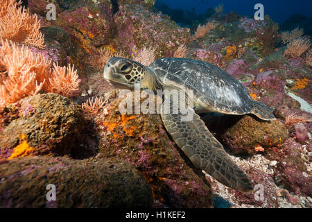 Green Sea Turtle, Chelonia mydas, Arch, Darwin Island, Galapagos, Ecuador - Stock Photo