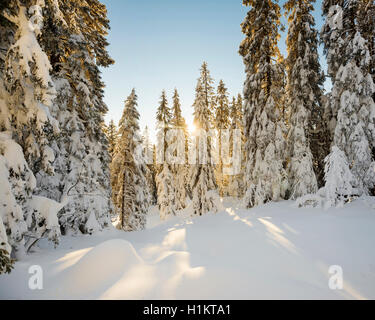 Sun shining through snow covered spruce trees, Feldberg, Black Forest, Baden-Württemberg, Germany - Stock Photo