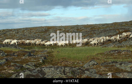 Reindeer (Rangifer tarandus) herd moving through tundra, Lapland, Norway - Stock Photo