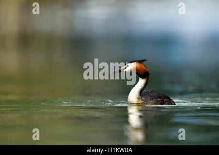 Great crested grebe (Podiceps cristatus) in the water, Lake Lucerne, Canton of Lucerne, Switzerland - Stock Photo