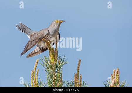 Common cuckoo (Cuculus canorus), Middle Elbe Biosphere Reserve, Saxony-Anhalt, Germany - Stock Photo