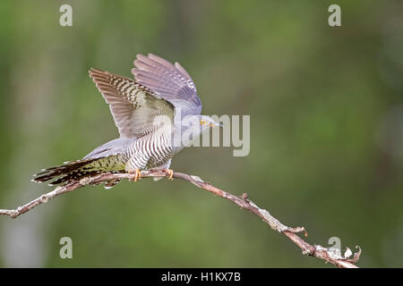 Common cuckoo (Cuculus canorus), flapping wings, Middle Elbe Biosphere Reserve, Saxony-Anhalt, Germany - Stock Photo