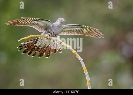 Common cuckoo (Cuculus canorus), with spread wings, on a branch, Middle Elbe Biosphere Reserve, Saxony-Anhalt, Germany - Stock Photo