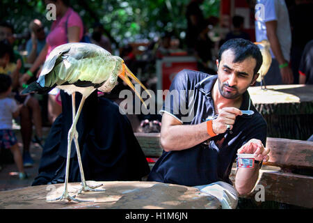 Aggressive Yellow-billed stork trying to steal ice cream from a zoo visitor. - Stock Photo