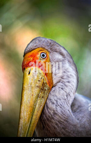 Yellow-billed stork, Mycteria ibis, a.k.a. the Wood Stork or Wood Ibis - Stock Photo
