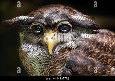 Close-up of a Barred Eagle-owl, Bubo sumatranus, a.k.a. Malay Eagle-owl at the KL Bird Park,  Malaysia. - Stock Photo