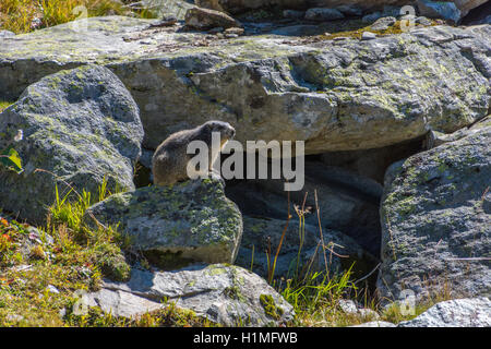 Alpine Marmot on rocks Marmota marmota Alps France - Stock Photo