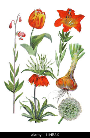 Turk's cap lily, Lilium martagon (left),  crown imperial, imperial fritillary or Kaiser's crown, Fritillaria imperialis - Stock Photo