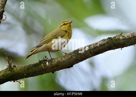 Wood Warbler / Waldlaubsaenger ( Phylloscopus sibilatrix ), male in breeding dress, New world Warbler, perched on - Stock Photo