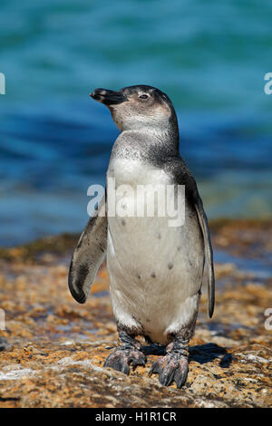 A young African penguin (Spheniscus demersus) on coastal rocks, Western Cape, South Africa - Stock Photo