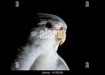 A pet cockatiel isolated against a dark black background - Stock Photo