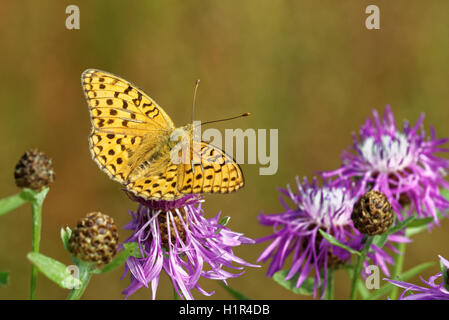 High brown fritillary (Fabriciana adippe) butterfly feeding on thistle flower. - Stock Photo